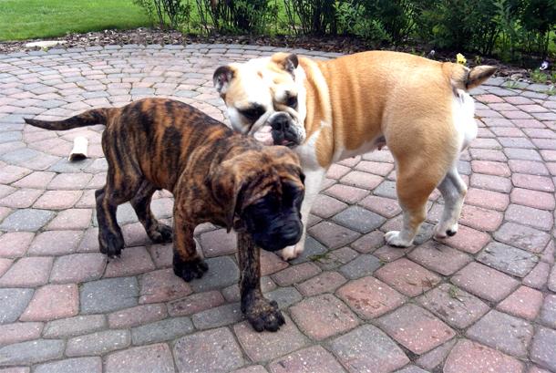 english mastiff and english bulldog